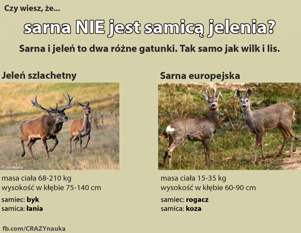 Czy sarna jest samicą jelenia?