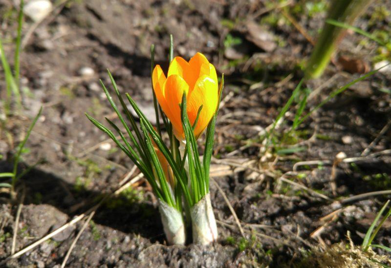 Wiosna już tydzień temu ujawniła się w naszym ogródku :-) Fot. Crazy Nauka