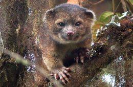 Olinguito - nieznany dotąd ssak