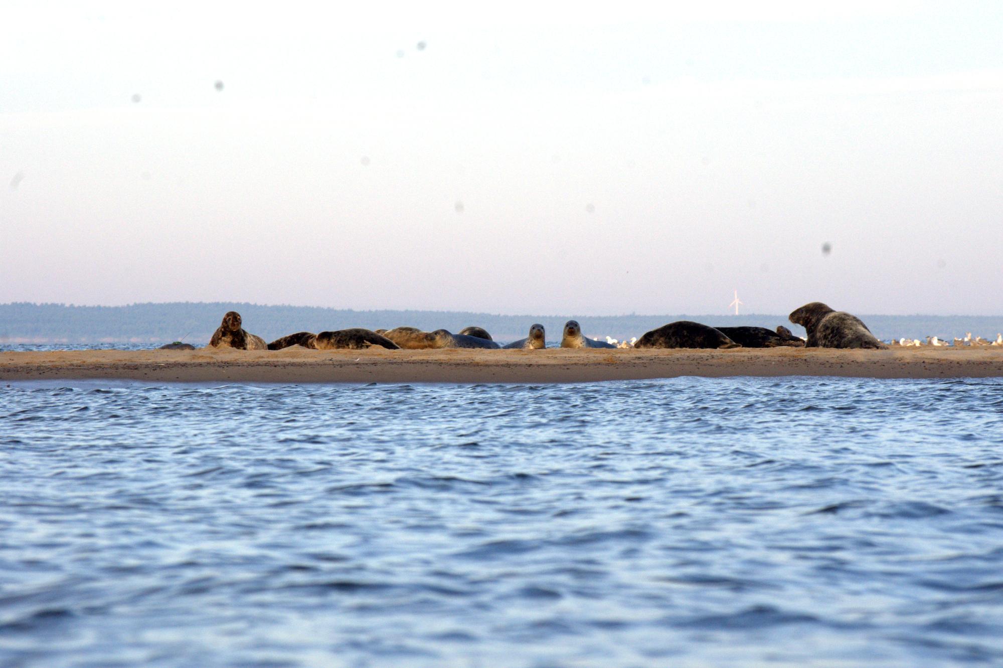 Aż 94 foki zauważono u ujścia Wisły. Fot. Mikołaj Zabyła