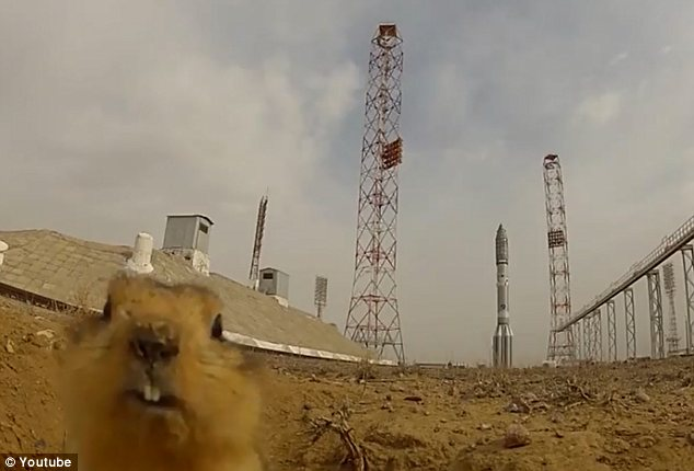 Suseł pod kosmodromem Bajkonur