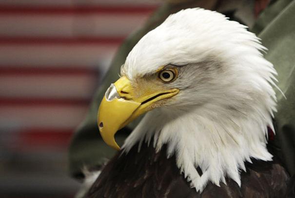 Bielik amerykański Beauty