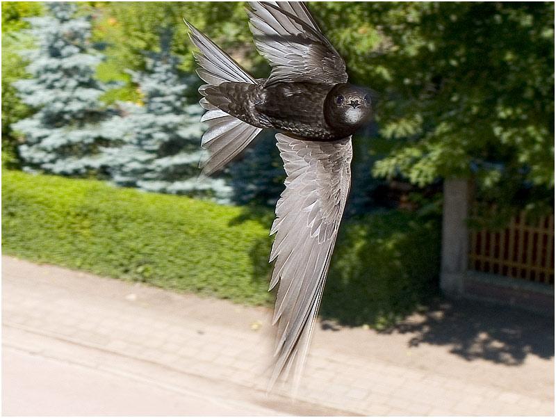 Jerzyk zwyczajny, równie zagorzały lotnik co jerzyk alpejski. Rozwija prędkość 200 km/h. Fot. Wikimedia