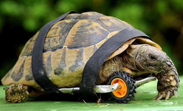 Żółw Tuly