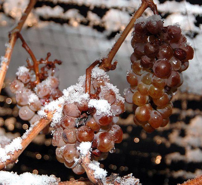 Winogrona przeznaczone na wino lodowe. Fot. Wikimedia