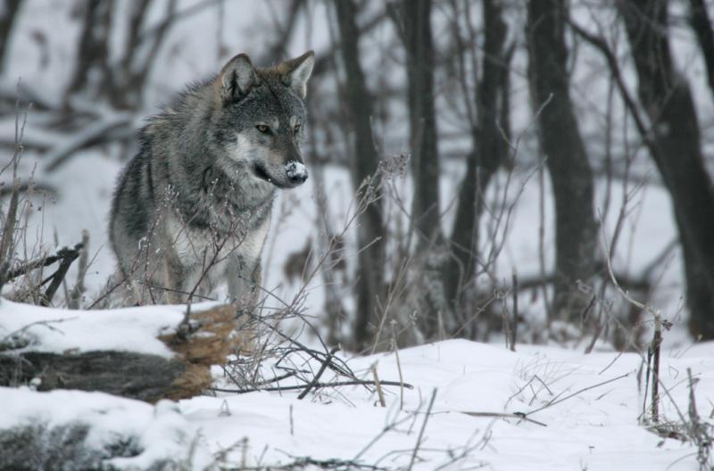 Samotny wilk w Bieszczadach, pasmo Matragony. Fot. Grzegorz Leśniewski