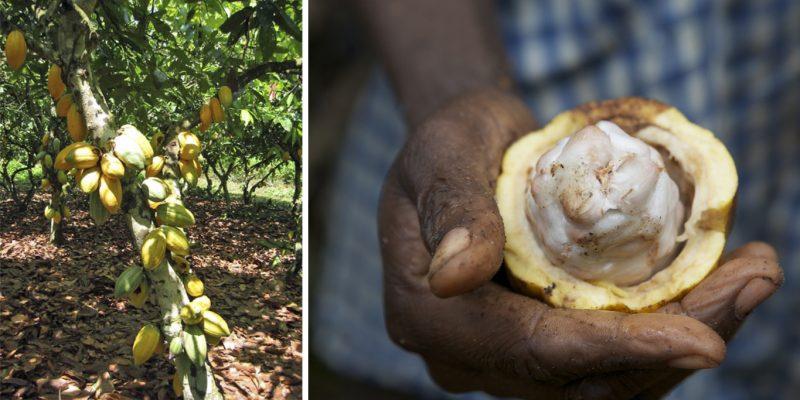 Nasiona kakaowca rosną na sporych drzewach, w dużych owocach fot. IITA Image Library, Nestle