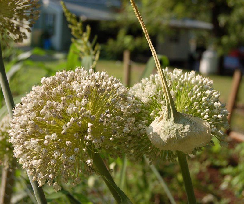 Można się domyślać, jak pory rosną, ale kto by pomyślał, że mają takie piękne kwiaty. No i przy okazji widać, jak blisko spokrewnione są z czosnkiem. Fot. Derek Ramsey