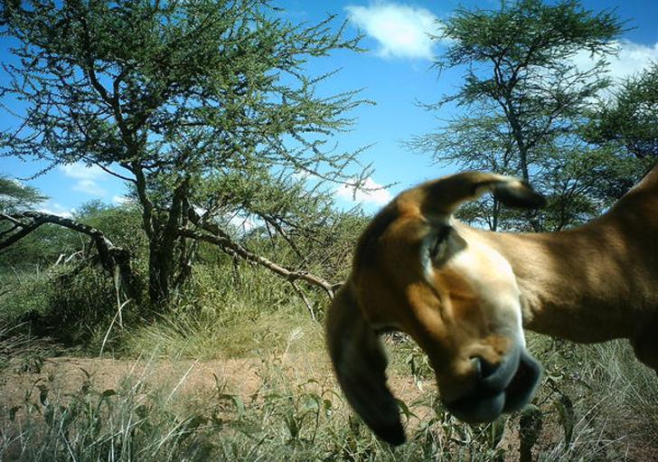 Kadr uchwycony przez kamerę w parku Serengeti, wykorzystany w projekcie Snapshot Serengeti