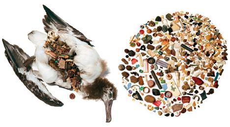 Ptaki giną masowo z powodu mylenia plastiku z pożywieniem. Fot. Tim Zim/Flickr