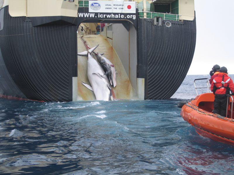 """Japoński statek przetwórczy """"Nisshin Maru"""" wciąga na pokład wieloryby - samicę z młodym. Fot. Wikimedia"""