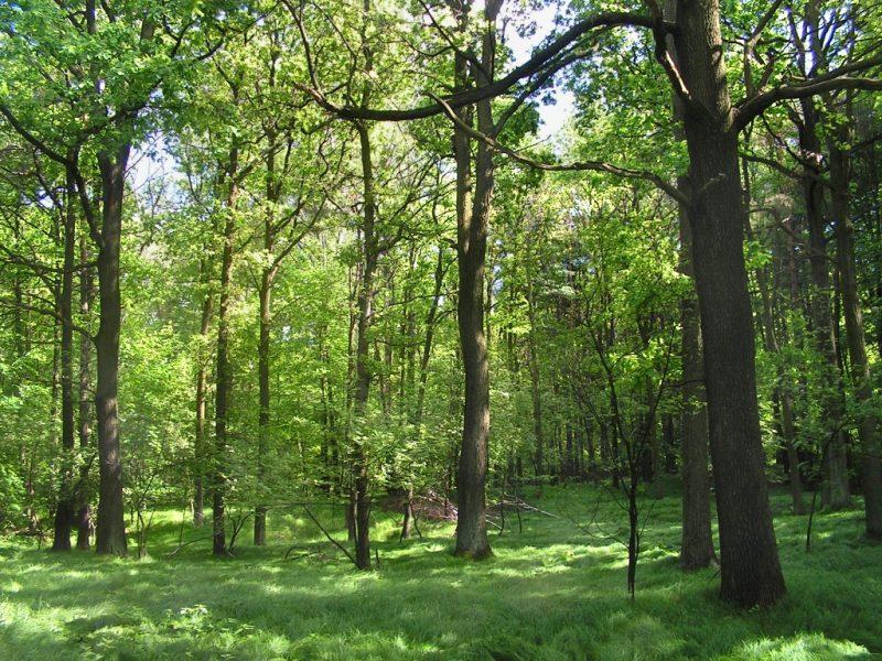 Lasy zajmują już niemal jedną trzecią powierzchni Polski. Fot. Wikimedia