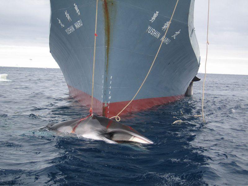 """Japoński statek """"naukowy"""" Yushin Maru holuje płetwala karłowatego. Fot. Wikimedia"""