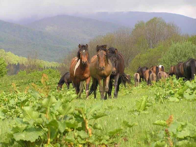 Tak wypasają się konie huculskie w Bieszczadach. Fot. Grzegorz Polak/Wikimedia