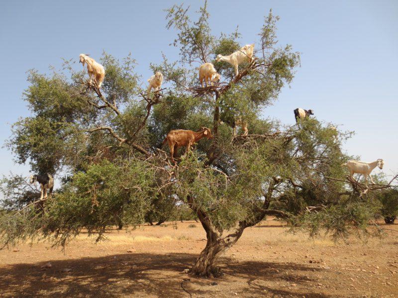 Marokańskie kozy na drzewie arganowym. Fot. Arnaud 25/Wikimedia