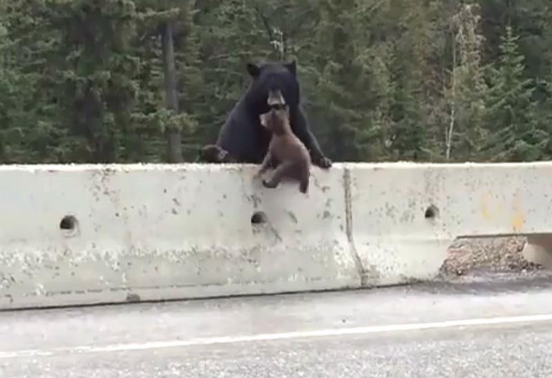 Niedźwiedzica ratuje swoje młode z autostrady. Fot. YouTube