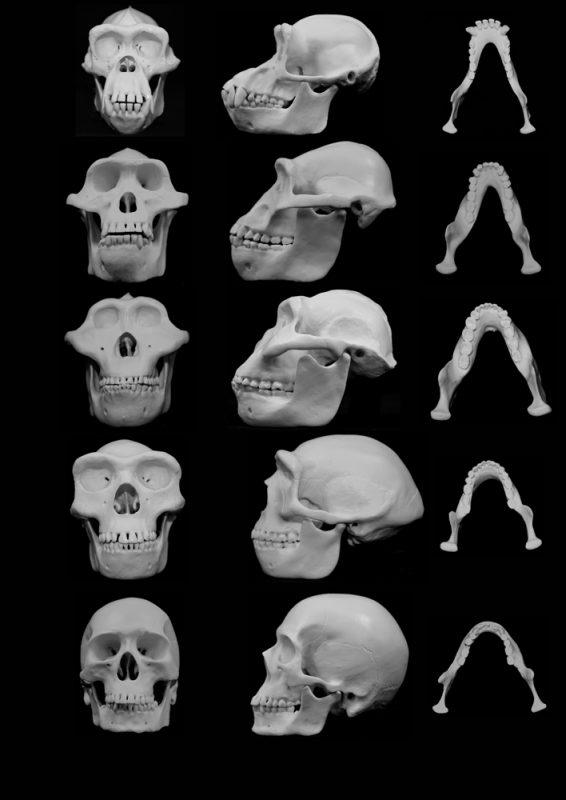 Czaszki kolejnych hominidów. Fot. University of Utah