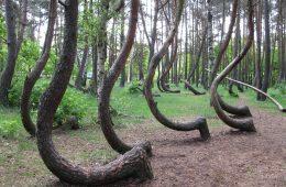 Krzywy las. Fot. Rzuwig