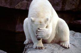 Niedźwiedź polarny (Thalarctos maritimus) usłyszał o poglądach Janusza Korwina Mikkego