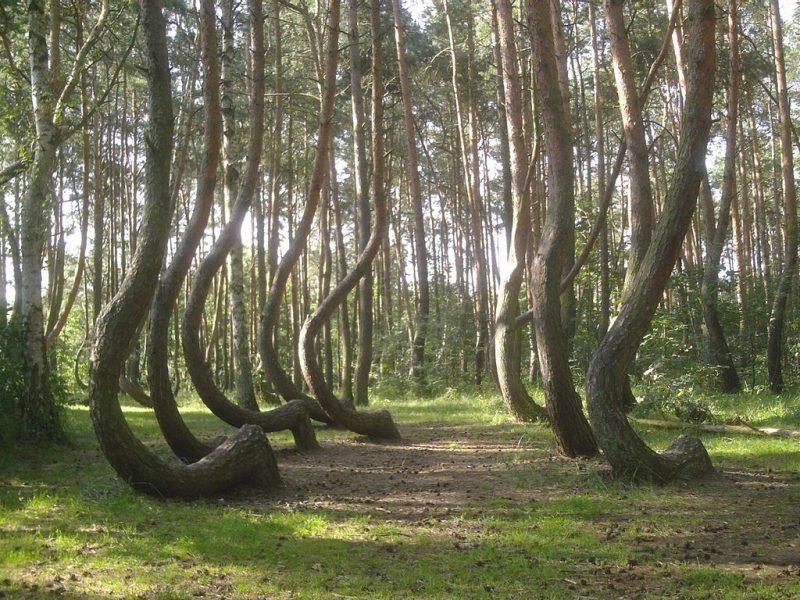 Krzywy Las niedaleko Gryfina. Fot. Asbb/Wikimedia