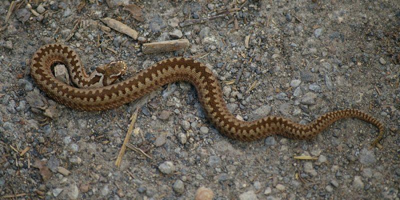 Żmija zygzakowata. Fot. Mirella Liszka/Wikimedia