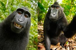 Samica makaka czubatego na pięknym Selfie. Wybór zdjęć David Slater