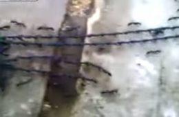 Mrówki tworzą żywy łańcuch. Fot. YouTube