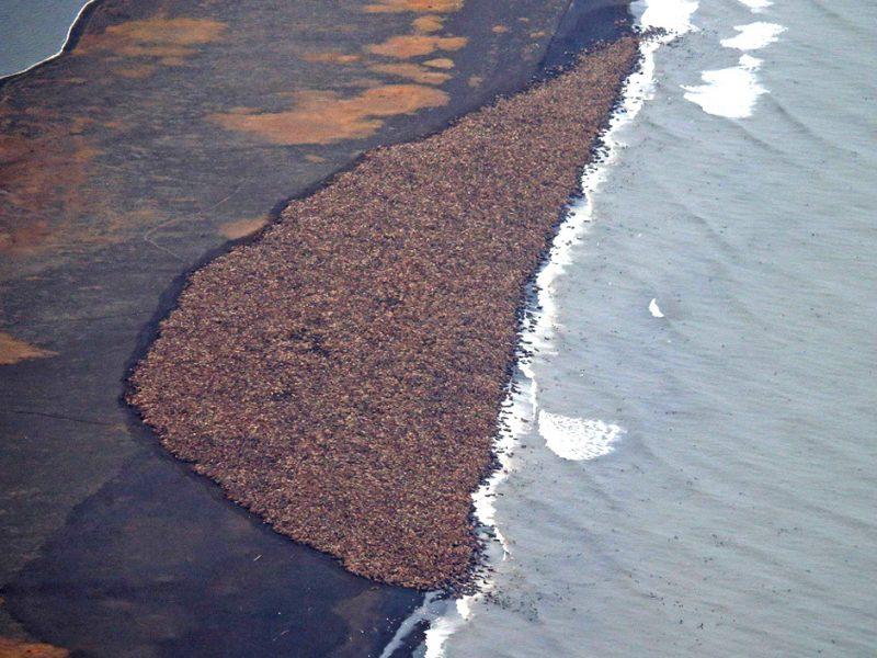 Morsy stłoczone na plaży nad Morzem Czukockim na Alasce. Fot. NOAA, Corey Accardo