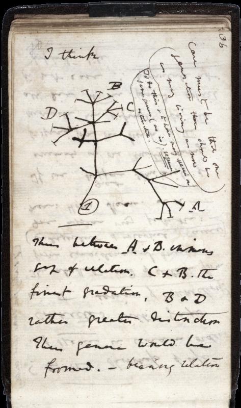 Oryginalny rysunek drzewa życia, czyli drzewa filogenetycznego, wykonany własnoręcznie przez Karola Darwina. Źródło: Wikimedia