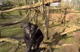 Szympans vs. dron. Fot. Burgers' Zoo