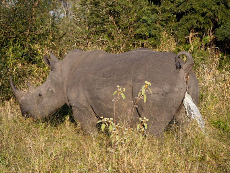 Sikający nosorożec. Fot. Jonathan Khoo/Flickr