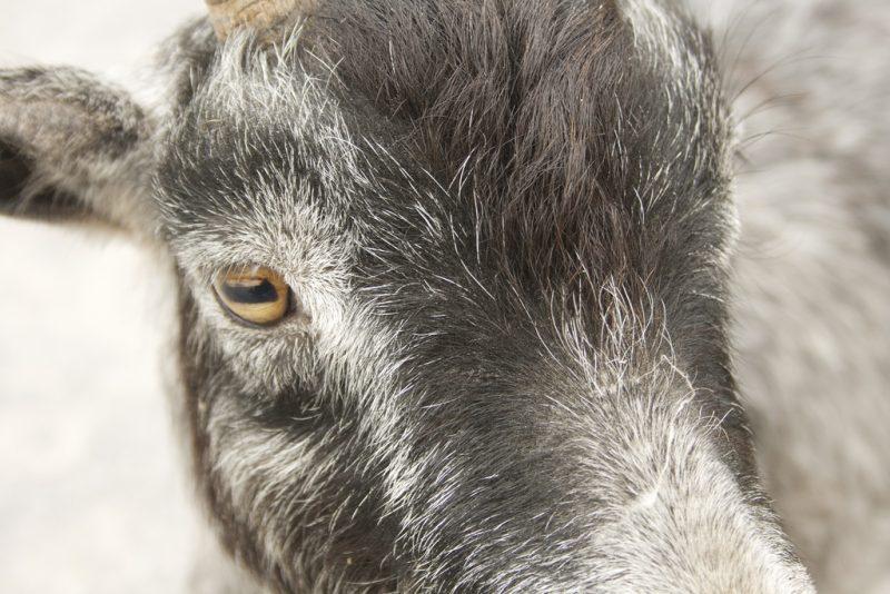 Kozy mają poziome źrenice i żółte tęczówki. Fot. Emma Cooper