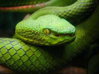 Pionowa źrenica węża. Fot. Carolyn