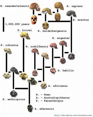 ewolucja_drzewo