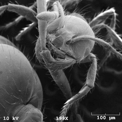 Mrówka trzyma w żuwaczkach odnóże sąsiada. Fot. David Hu i Nathon Mlot/Georgia Tech