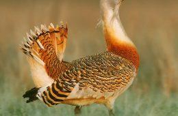 Do Polski wraca ogromny ptak – drop. To prawdziwa sensacja!