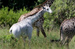 Szansa jedna na milion – w Tanzanii natrafiono na białą żyrafę!