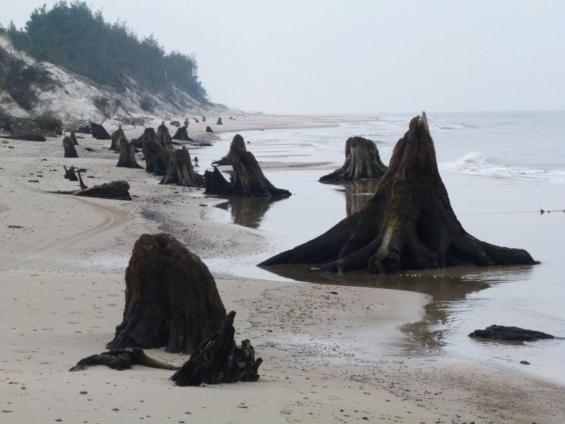 Wybrzeże Bałtyku. Pozostałości puszczy sprzed 3 tys. lat. Fot. Słowiński Park Narodowy/A. Demczak/Facebook