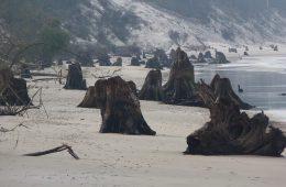 Bałtyk odsłonił pozostałości puszczy sprzed 3 tys. lat