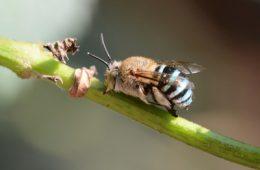 Heavymetalowa pszczoła uderza w kwiaty głową 350 razy na sekundę