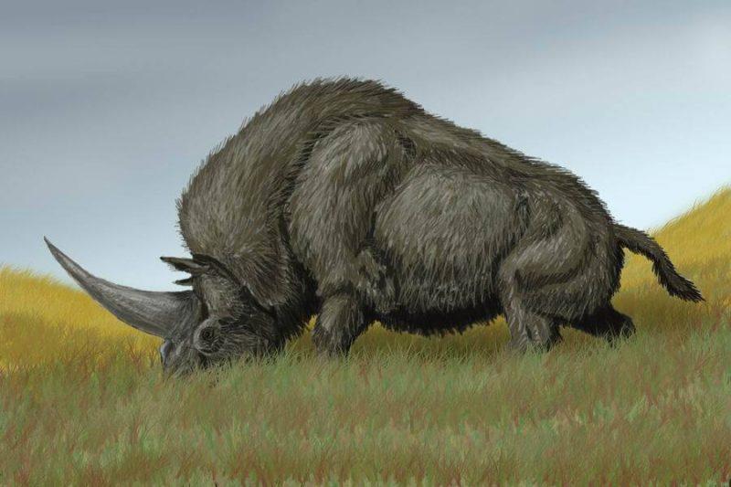 Elasmotherium sibiricum, rekonstrukcja. Autor: Bogdanov/Wikimedia