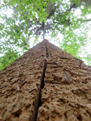 Martwe drzewo pozbawione kory przez ptaki. Fot. Crazy Nauka