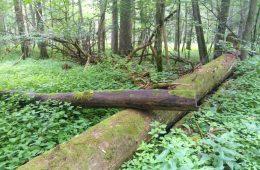 Komu potrzebne są martwe drzewa w Puszczy Białowieskiej?