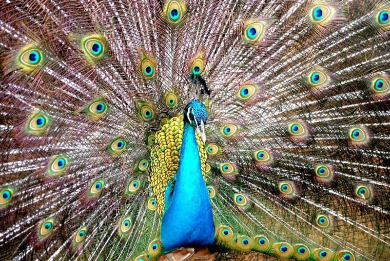 Paw. Ptak (prawie) bez koloru. Fot. Alexcooper1