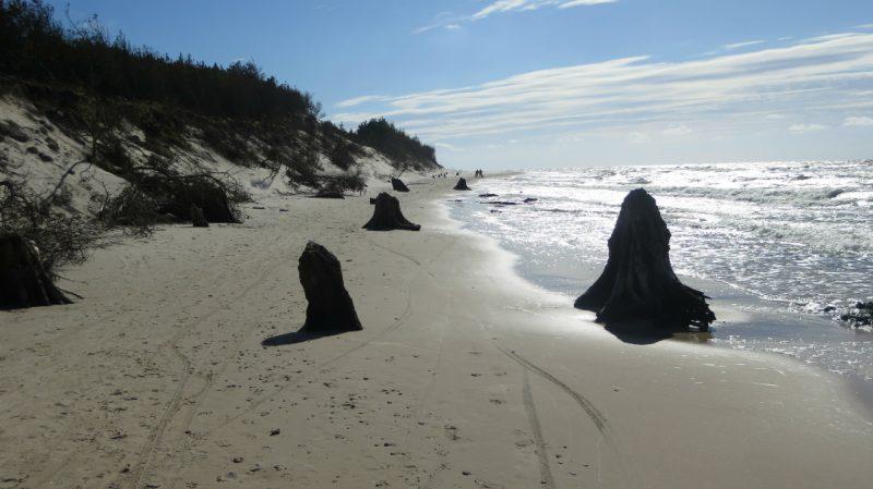 Bałtyk odsłonił pozostałości puszczy sprzed 3000 lat pod Czołpinem. Fot. Crazy Nauka