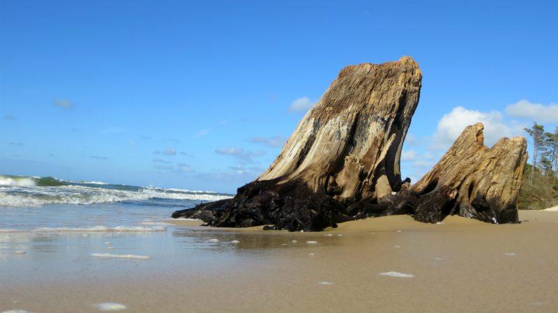 Pozostałości lasu sprzed 3000 lat na bałtyckiej plaży. Fot. Crazy Nauka