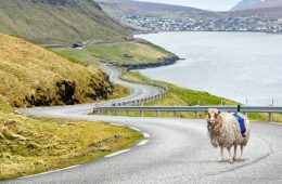 Coś takiego mogło się zdarzyć tylko na Wyspach Owczych