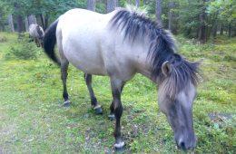 Rezerwat dzikich koni na Mazurach – kraina potomków tarpanów, którą trzeba zobaczyć