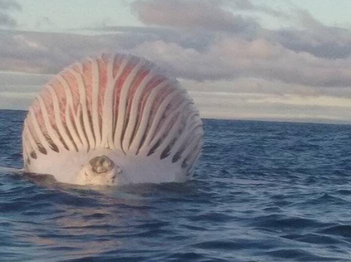 Martwy humbak na Oceanie Indyjskim (fot. Mark Watkins)