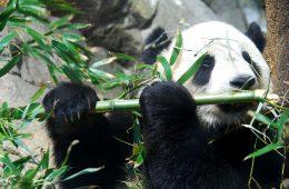 Udało się! Uratowaliśmy pandy przed wyginięciem